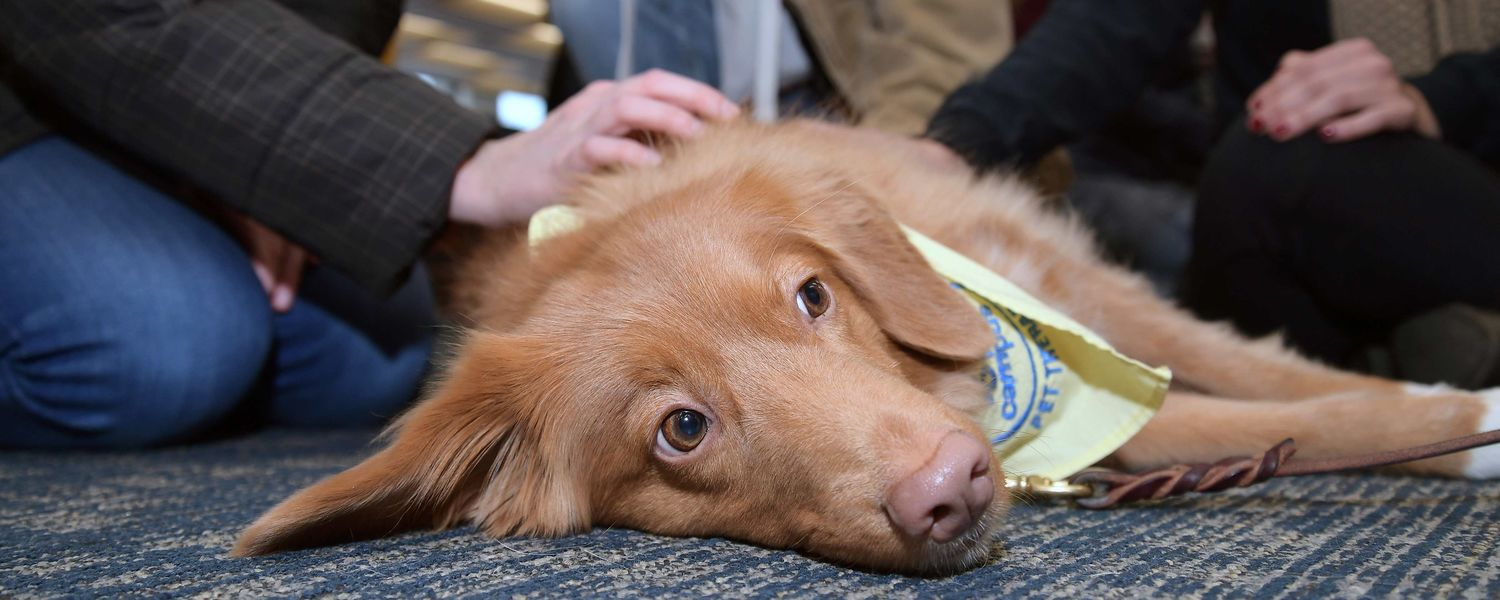 Raven, a Nova Scotia duck trolling retriever, enjoys the attention of all the Kent State students attending the library's Stress-Free Zone.