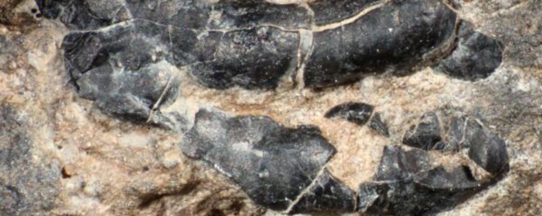 Dark crustacean shell fragment embedded in fossilized dinosaur feces.