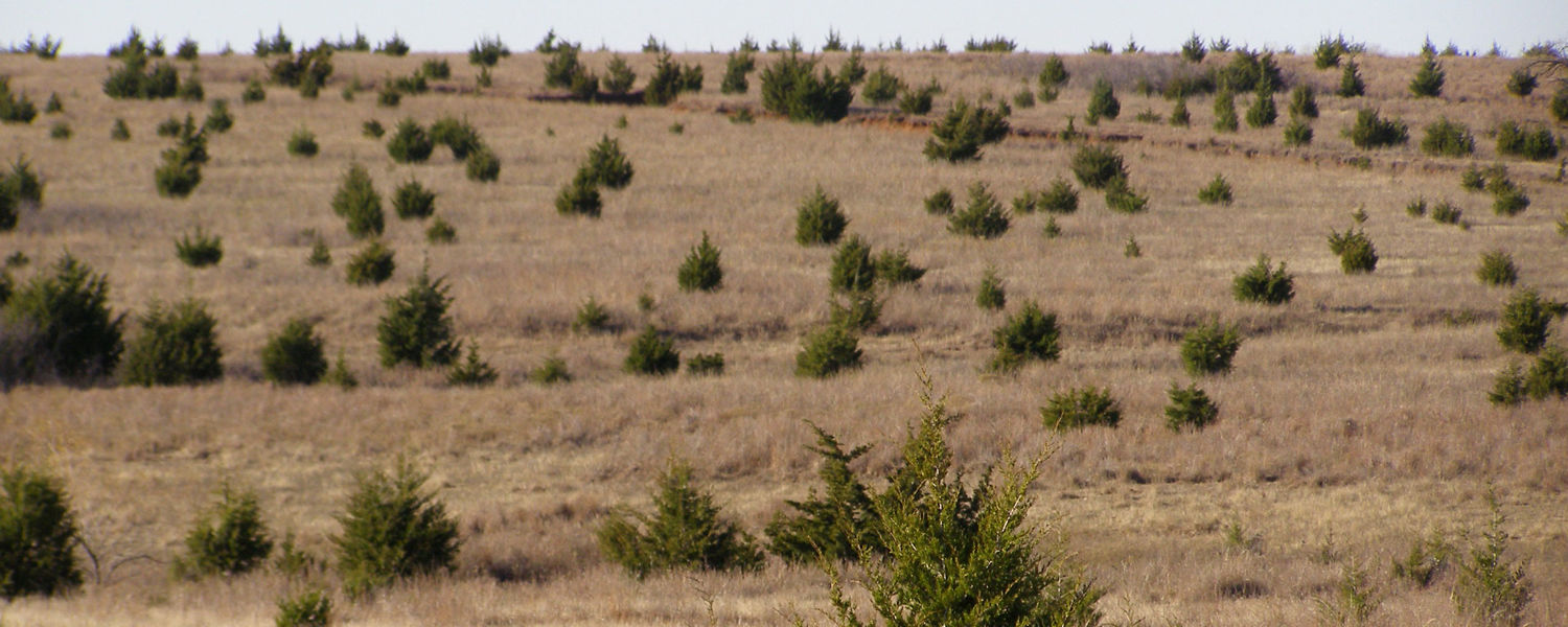 The Eastern Red Cedar species has dispersed as far west as Nebraska and South Dakota and takes valuable rangeland away from grazers such as cattle and sheep that only eat grasses. (Photo courtesy of http://www.dasnr.okstate.edu/)