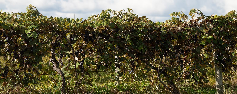 Grapevines at Lareullo Vineyards in Harpersfield, Ohio