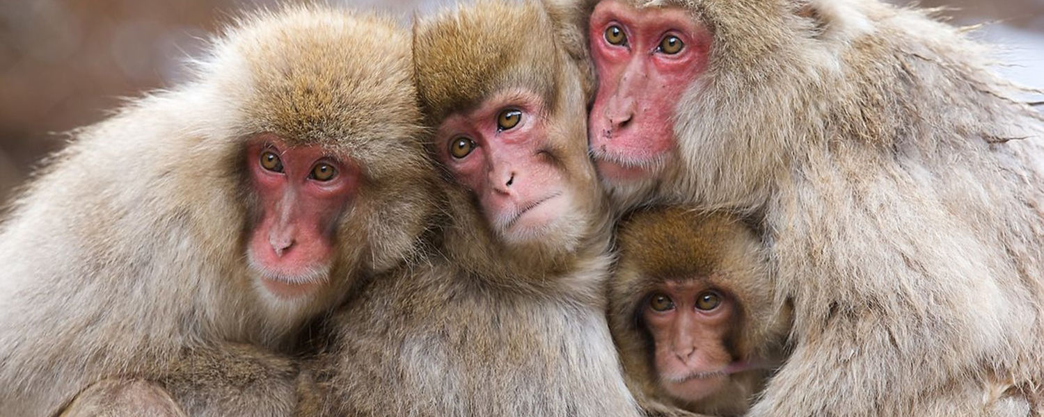 Group of Monkeys Huddled