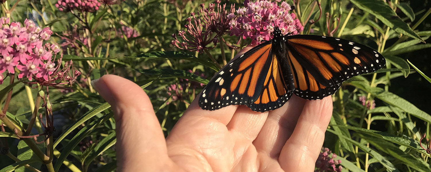 Kent State Lecturer Ellen Daniels is contributing to a national effort to boost the monarch butterfly population.