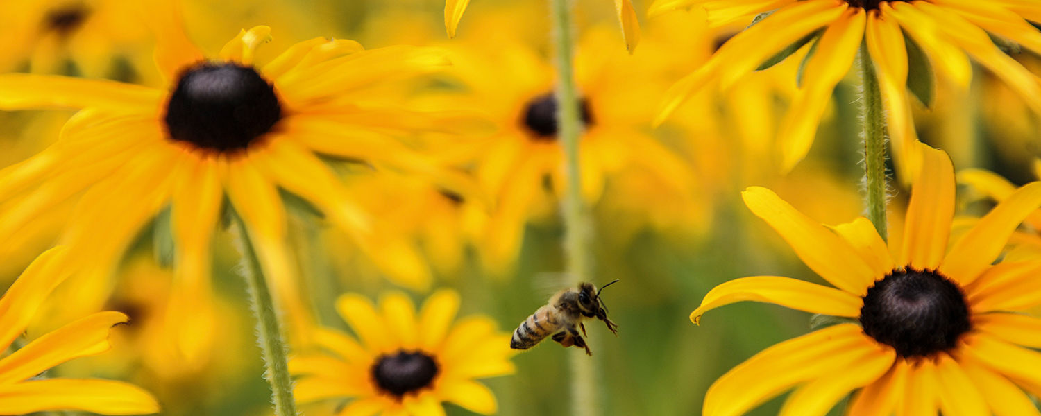 A bee pollinates flowers on campus
