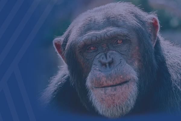 Kent State Researchers Help Find Pathologic Hallmarks of Alzheimer's Disease In Aged Chimpanzee Brains