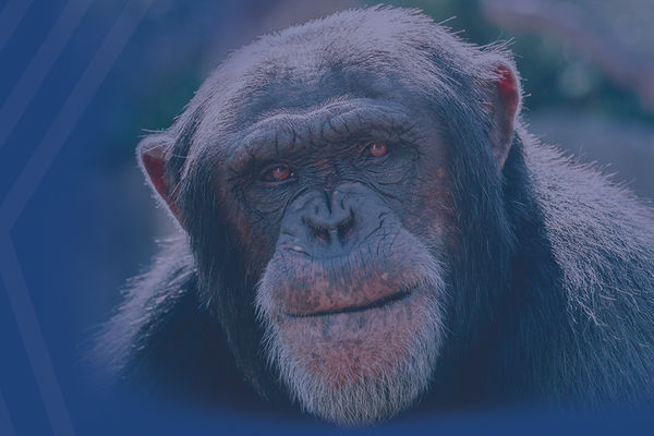 Kent State Researchers Help Find Pathologic Hallmarks of Alzheimer's Disease In Aged Chimpanzee Brains