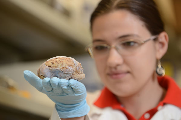 A biomedical student examines a brain